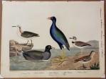 Plate 73. Common coot. 2. Purple gallinule. 3. Gray phalarope. 4. Red phalarope. 5. Wilsons plover